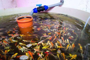 Best Aquaponics Fish Tank