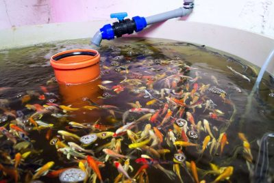 Best Aquaponics Fish Tank