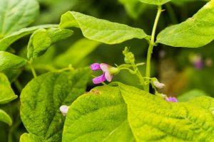 Bush Beans - Fast Growing Vegetables-min