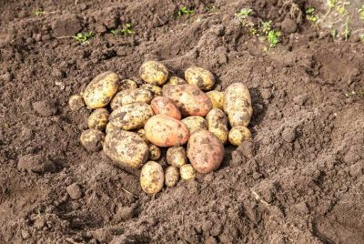 How To Grow Big Potatoes