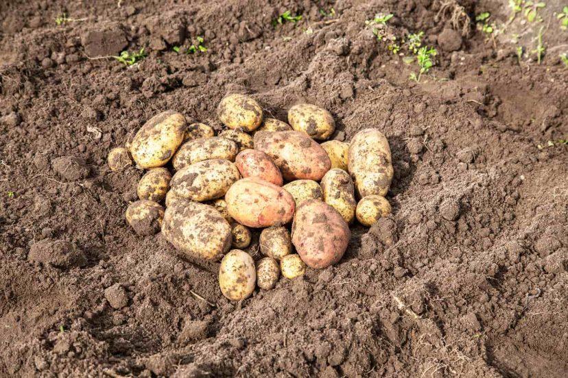 The Best Ways To Grow Big Potatos