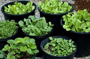 Make Terrace Garden for Vegetable Cultivation
