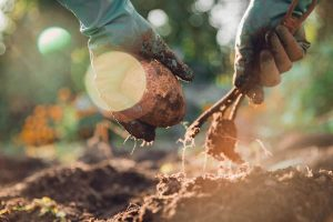 When to plant potatoes