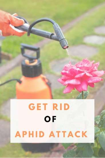 Aphid Control: How to Get Rid of Aphid Attack