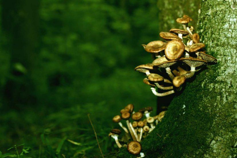 How To Grow Shiitake Mushrooms From Plugs