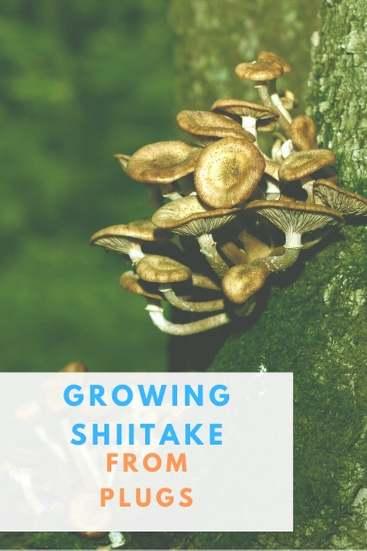 How To Shiitake Mushrooms from Plugs - Pin