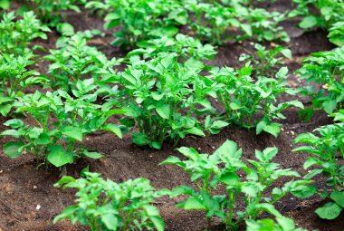 How Far Apart To Plant Potato