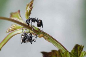 Aphid, Presence of ants