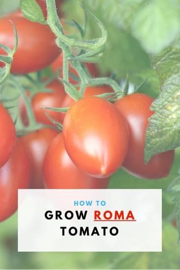 How To Grow Roma Tomato_ - PIN (1)