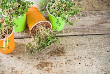 How To Grow Microgreen Indoor