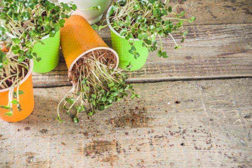 How To Grow Microgreen Indoor?