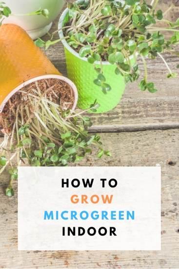 The best way to Grow Microgreen Indoor - PIN