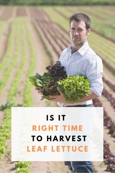 How to Harvest Leaf Lettuce - PIN