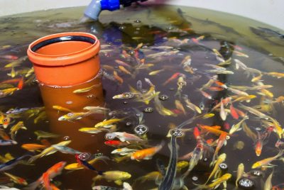 What Is The Best Fish For Aquaponics