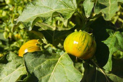 How To Grow Zebra Stripe Tomato
