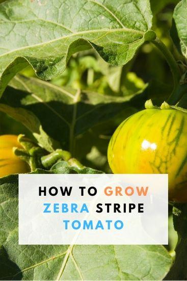 Best way to Grow Zebra Stripe Tomato - PIN