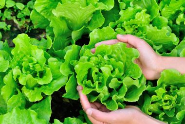 How Long Does Lettuce Last