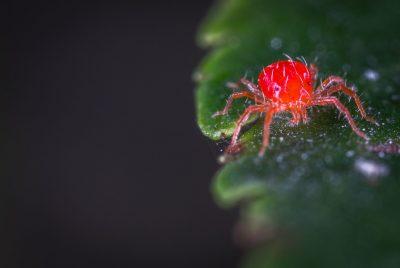 Effective Homemade Spider Mite Killer
