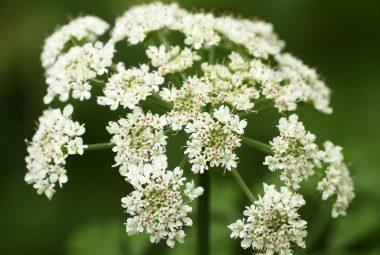 Angelica Seeds
