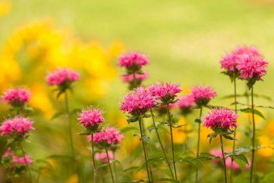 Bee Spotted Bee Balm (Monarda Punctata) - WILD BERGAMOT Seeds Price (1)