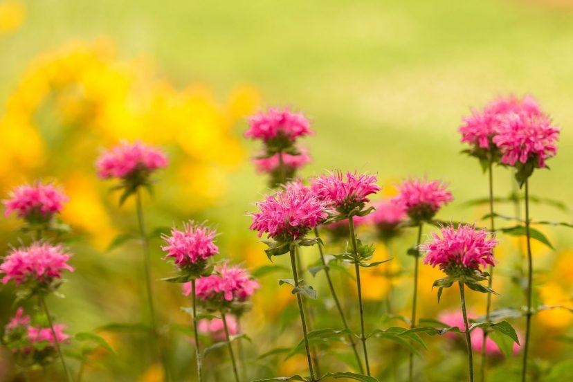 Bee Balm (Monarda Punctata) – Wild Bergamot