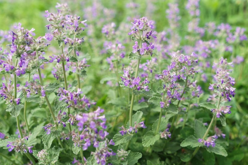 Buy Catmint Seeds