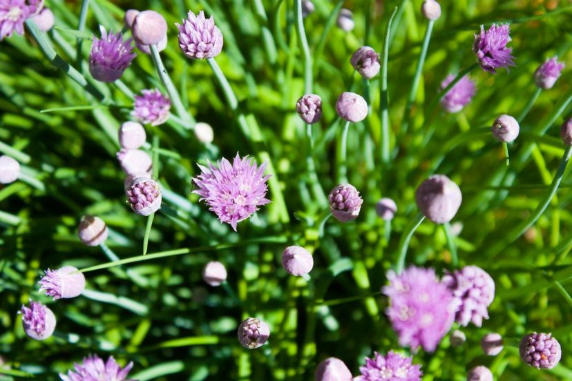 Best Chive Seeds 100% Organic