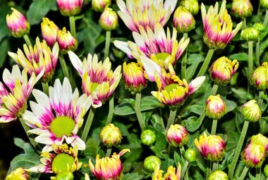 Buy Chrysanthemum Seeds