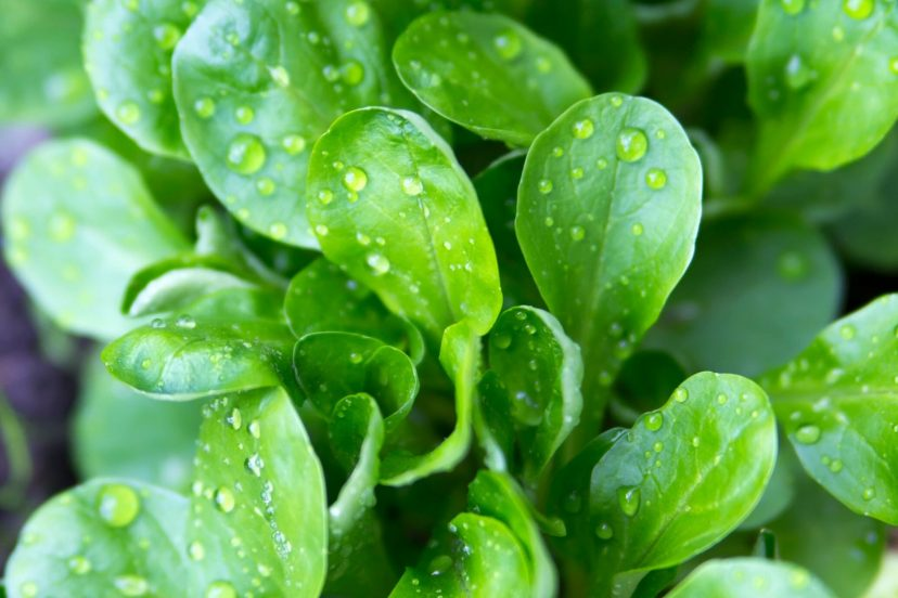 Corn Salad (Mache) Seeds 100% Organic