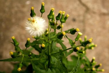 Buy Dandelion Seeds 100% Organic