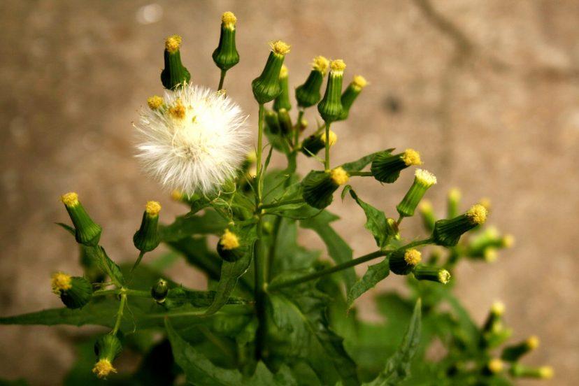 Best Dandelion Seeds 100% Organic