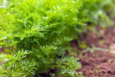 Buy Dill Seeds 100% Organic