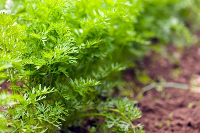 Top Dill Seeds 100% Organic