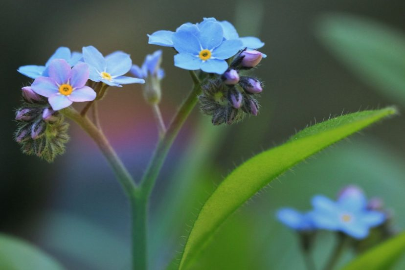 Forget Me Not Seeds 100% Organic Top Quality