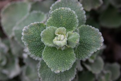 Buy Horehound Seeds 100% Organic