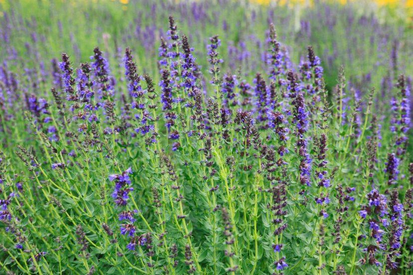 Get Hyssop Seeds 100% Organic