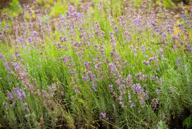 Buy Lavender Seeds 100% Organic