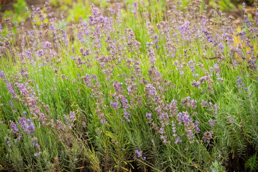 Lavender Seeds 100% Organic Top Quality