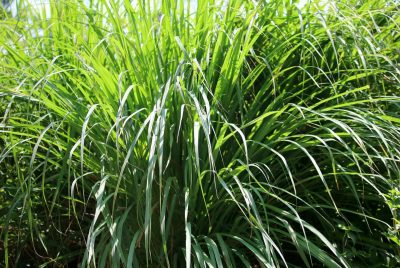 Buy Lemon Grass Seeds 100% Organic