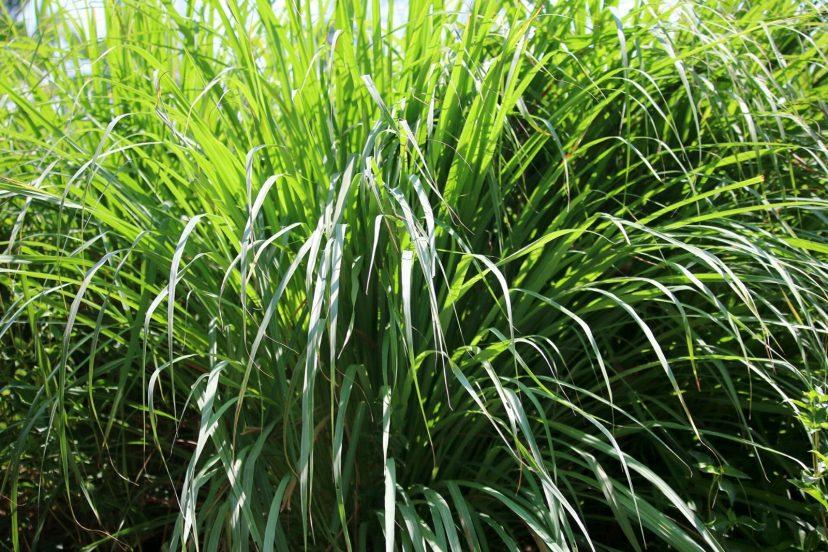 Best Lemon Grass Seeds 100% Organic