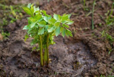 Buy Lovage Seeds 100% Organic