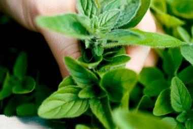 Buy Marjoram Seeds 100% Organic
