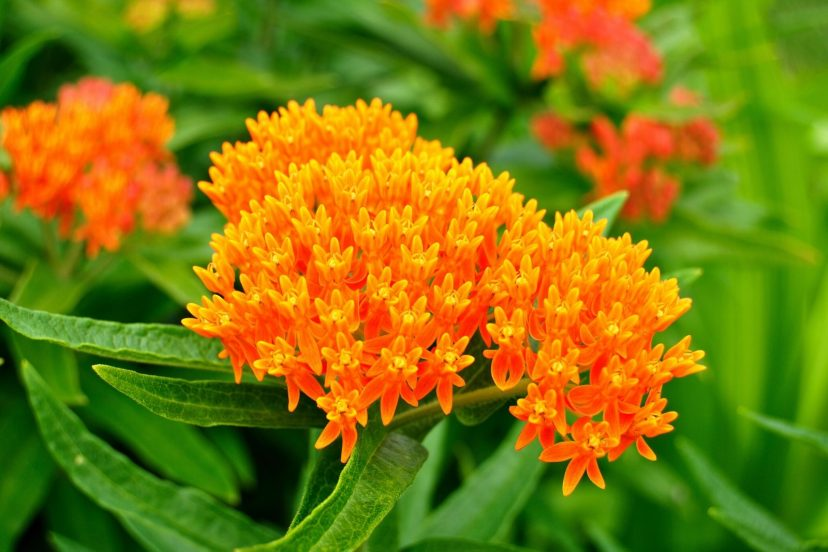 Best Milkweed Seeds 100% Organic