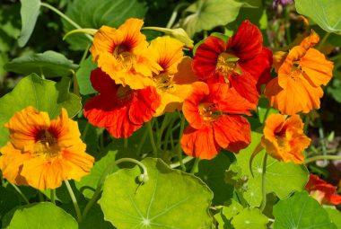 Buy Nasturtium Seeds 100% Organic