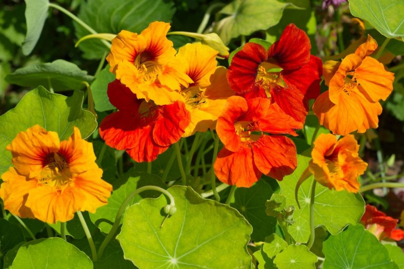 Nasturtium Seeds Top Quality 100% Organic
