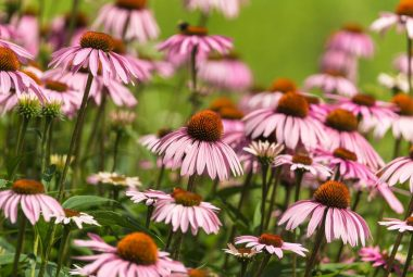 Buy Purple Coneflower Seeds 100% Organic