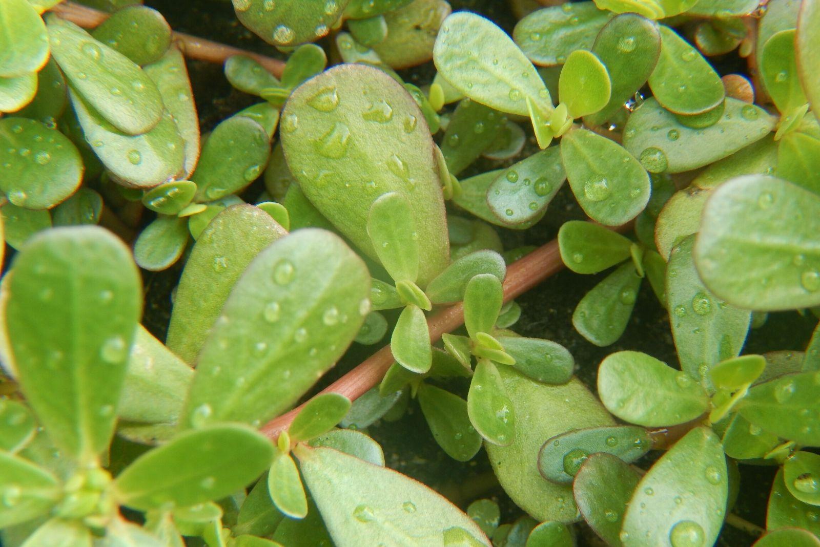 Buy Purslane Seeds 100% Organic Top Quality - Grow Food Guide
