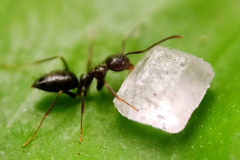 How To Get Rid Of Black Garden Ants: Natural Ways Tips