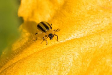 Stripe Cucumber Beetles What They Do And How To Get Rid Of Them