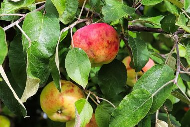 What Is Wrong With My Apples Maggot Control